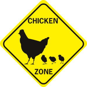 chicken xing hen with chicks