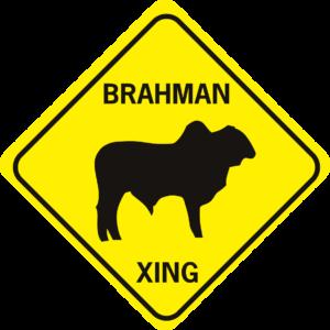 cow brahman