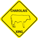 cow charolais