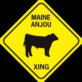 COW MAINE ANJOU