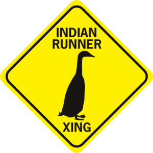 Duck Indian Runner Duck Xing